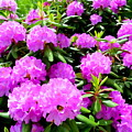 Rhododendrons In Bloom by Ed Weidman