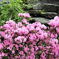 Rhododendrons by Will Borden