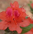 Rhododendrum Oldhamii by Linda Covino