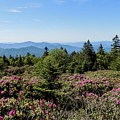 Rhododendron On Roan Mountain by Amelia Jean Miller