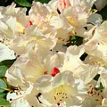 Rhododenrons Floral Art Prints Yellow Pink Rhodies Baslee Troutman by Baslee Troutman
