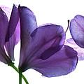 Rhody Ballet-purple by Vita Mancusi