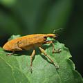 Rhubarb Weevil by David Lamb