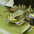 Ribbet In The Pond by Deborah Benoit