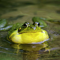 Ribbit Frog by Christina Rollo
