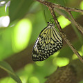 Rice Paper Butterfly Clinging To A Tree Branch by DejaVu Designs