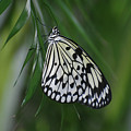 Rice Paper Butterfly Sitting On Green Foliage by DejaVu Designs