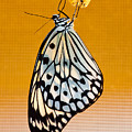 Rice Paper Out From Chrysalis by Alapati Gallery