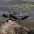 Rift Valley Cormorants by Aidan Moran