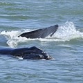 Right Whale Head And Tail by Bradford Martin