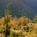 Rimlit Saguaro Forest by Crystal Garner