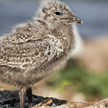 Ring-billed Gull Chick 2016-1 by Thomas Young