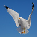 Ring Billed Gull In Flight by Mircea Costina Photography