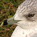 Ring Billed Gull Profile by J M Farris Photography