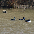 Ring Neck Ducks  by Ruth Housley