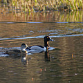 Ring Necked Duck by Heather Coen