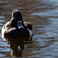 Ring-necked Duck On The Pond by Sue Harper
