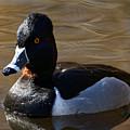 Ring-necked Duck by Sue Harper