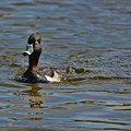 Ring Necked Duck by Vivian Martin
