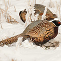 Ring-necked Pheasant Hunting In The Snow by Dennis Hammer