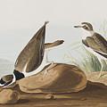 Ring Plover  by John James Audubon