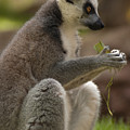 Ring-tailed Lemur Holding A Clump Of Grass by Jill Mitchell