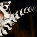 Ring-tailed Lemur  by Nick Biemans