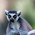 Ring-tailed Lemur by Ofer Zilberstein