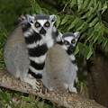 Ring-tailed Lemurs by Michele Burgess
