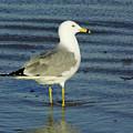 Ringed Billed Sea Gull by D Hackett