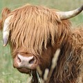 Ringo - Highland Cow by Bill Cannon