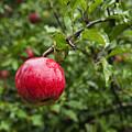 Ripe Apples. by John Greim