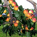 Ripe Apricots by Will Borden