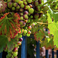 Ripening Grapes by Geoff Smith