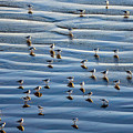 Ripples Of Sand Dotted With Plovers by Sharon Foelz