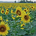 River Bottom Sunflowers by Cricket Hackmann