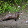 River Otter by Deanna Cagle