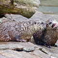 River Otters by Kerri Farley