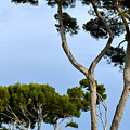 Riviera Trees by Corinne Rhode