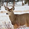 Rmnp Mule Deer 2 by Kirk Siegler