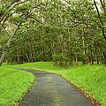 Road Through Koa Tree Forest by Charmian Vistaunet