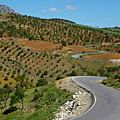Road Winding Between Fields Of Olive Trees by Sami Sarkis