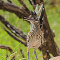 Roadrunner - Youngster by Allen Sheffield