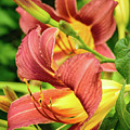 Roadside Lily by Bill Schmitter