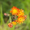 Roadside Wildflower by Timothy Ruf