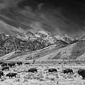 Roaming Bison In Black And White by Mark Kiver