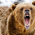 Roaring Grizzly Bear by Scott Read