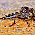 Robber Fly 001 by George Bostian
