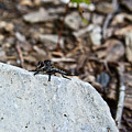 Robber Fly Sitting by Douglas Barnett