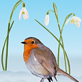 Robin And Cold Snowdrops by Warren Photographic